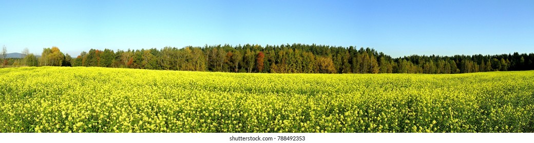 Brassica napus,wheat germ oil field yellow flower, biodiesel plant panorama.