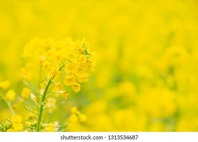 Brassica rapa subsp in full bloom Rape flower field Yellow rape blossoms