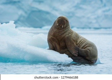 Brasvelbreen. Young Atlantic walrus (Odobenus rosmarus) resting on an ice floe.