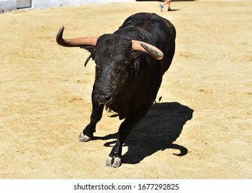 Brave bull with big horn on spanish bullring