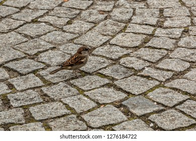 Brave little sparrow on the stony ground of the town