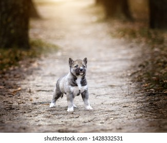brave puppy husky (agouti) in outdoor