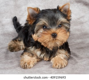 Brave puppy of the Yorkshire Terrier on beige fabric