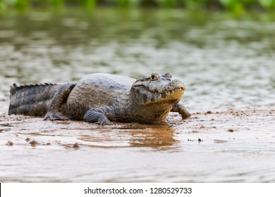 Brazil, Mato Grosso, The Pantanal, Rio Cuiaba, black caiman (Caiman niger) on the banks of the Rio Cuiaba.