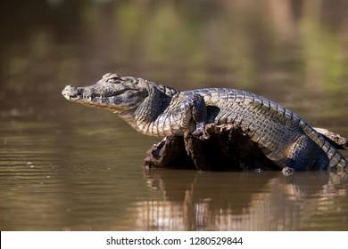 Brazil, Mato Grosso, The Pantanal, Rio Cuiaba, black caiman (Caiman niger) sunning itself.