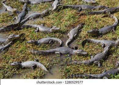 Brazil, Mato Grosso, The Pantanal, The Transpantaneira Highway, black caiman (Caiman niger). Groups of caiman along the Transpantaneira Highway.