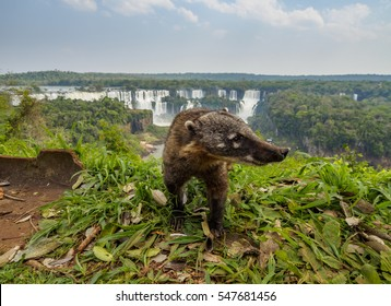 Brazil, State of Parana, Foz do Iguacu, South American Coati(Nasua nasua) by the Iguazu Falls.