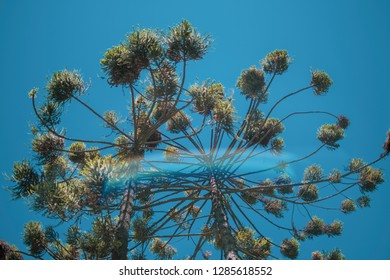 Brazilian araucaria tree in front of a blue sky