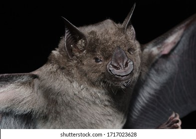 A Brazilian Bat, the greater spear-nosed bat (Phyllostomus hastatus) is a bat species of the family Phyllostomidae from South America. It is one of the larger bats of this region and is omnivorous.