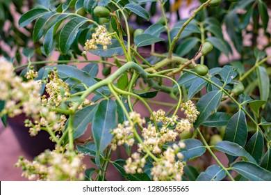 Brazilian caja (Spondias mombin) buds and flowers on a tree