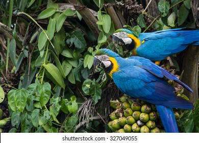 Brazilian Caninde Macaw eating coconuts - Mato Grosso State - Brazil