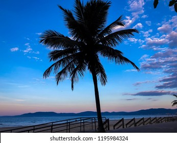 Brazilian Coconut tree at the Itapema Beach Santa Catarina