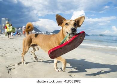 3458469b4 Brazilian dog carrying a red flip flop on the shore of Copacabana Beach in  Rio de