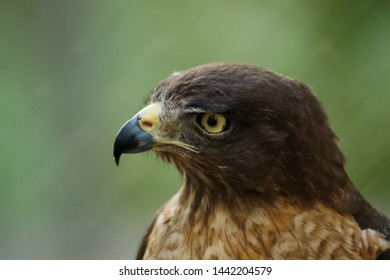 1287f5ff5 Eagle Brazil Stock Photos, Images & Photography   Shutterstock
