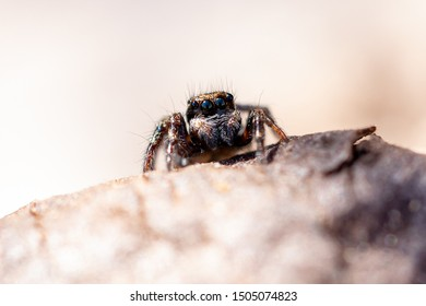 Brazilian jumping spider os the genus Corythalia and family salticidae