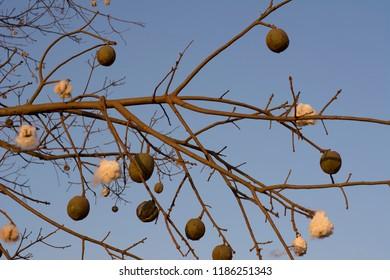 Brazilian kapok tree