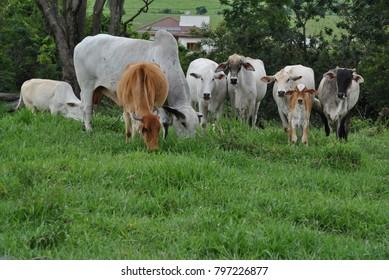 the brazilian nelore cows