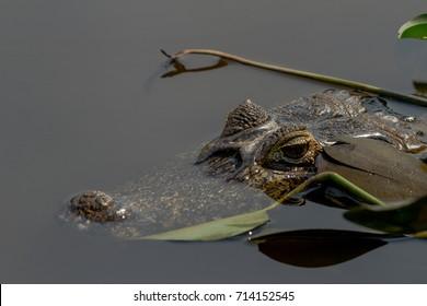 Brazilian Pantanal - Caiman