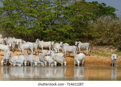 Brazilian Pantanal - Cattle