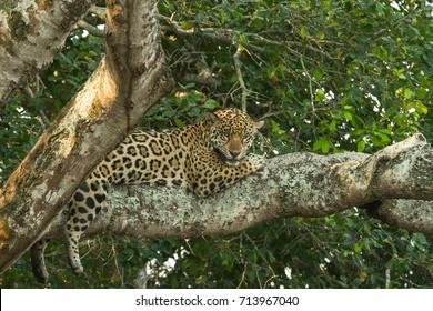 Brazilian Pantanal - Jaguar