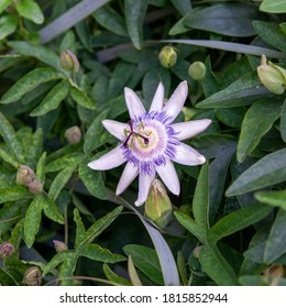 Brazilian Passionflower 1 - RHS Wisley, Surrey