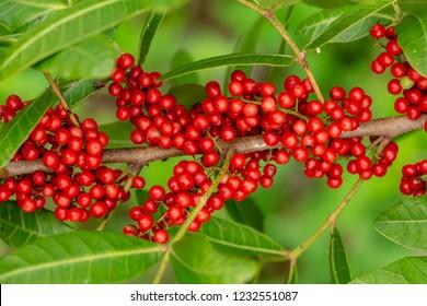 Brazilian peppertree (Schinus terebinthifolia) red berries closeup - Long Key Natural Area, Davie, Florida, USA