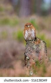Brazilian pygmy owl (Glaucidium passerinum) sitting on a tree stump in the middle moors and looks around