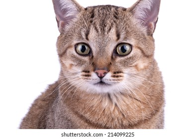 Brazilian Short Hair Cat isolated on white background