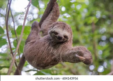 Brazilian Sloth