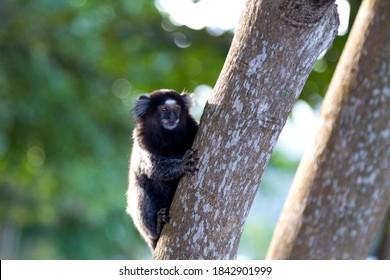 Brazilian titi monkey Callithrix jacchus in the forest of Rio de Janeiro, Brazil.