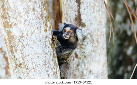 Brazilian titi monkey Callithrix jacchus in the Botanical Garden of Rio de Janeiro, Brazil.
