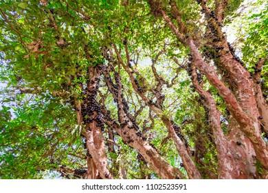 Brazilian tree jabuticaba or jaboticaba with trunk full of fruits, black fruits