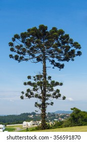 Brazilian tree also know as Auracaria, araucaria angustifolia, Parana pine, and Brazilian pine.