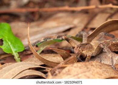 Brazilian wandering spider - danger poisonous Phoneutria Ctenidae