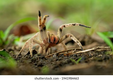 Brazilian wandering spider - Phoneutria boliviensis or depilata species of a medically important spider in family Ctenidae, found in Central and South America, dry and humid tropical forests.