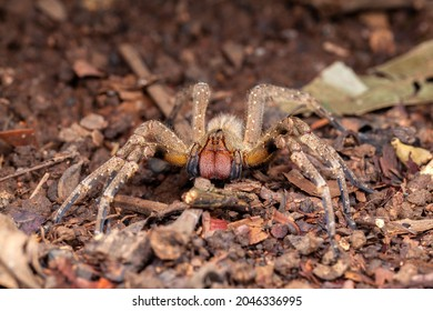 Brazilian wandering spider Phoneutria nigriventer