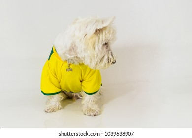 Brazilian west highland white terrier wearing a Brazilian team t-shirt looking at something like placard, score, tv, text and so on.