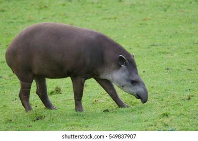 A Brazillian Tapir grazes