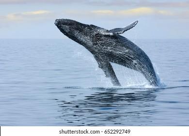 Breaching Hump Back Whale off the coast of Honolulu. Hawaii.