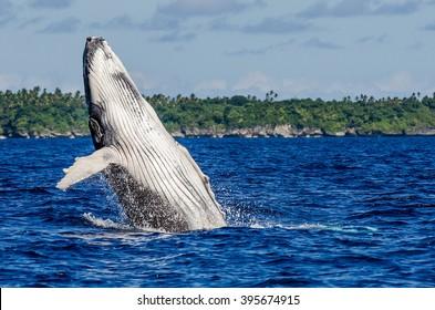 Breaching Humpback Whale Calf