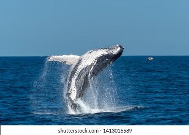 Breaching Humpback whale Sydney Australia