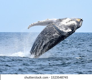 A breaching humpback whale twists into his breach as gravity pulls him down.
