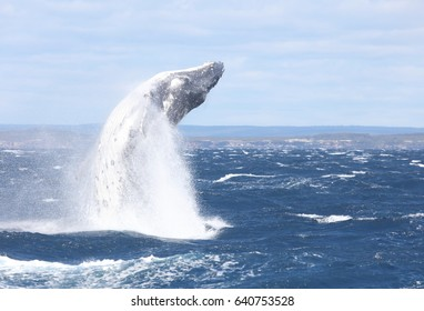 Breaching Humpback Whale in windy conditions near Sydney, Australia