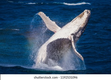 Breaching juvenile whale with eyes and fins wide open, Sydney Australia