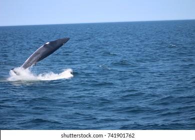 Breaching Minke Whale in the Wild