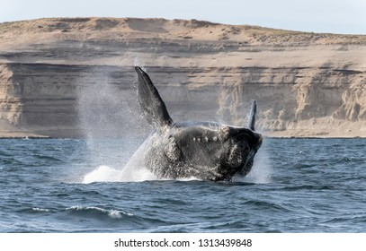 Breaching southern right whale in the Nuevo Gulf, Valdes Peninsula, Argentina.