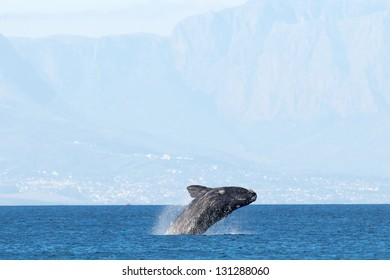 Breaching Whale False Bay