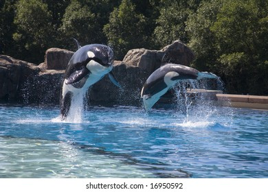 breaching whales