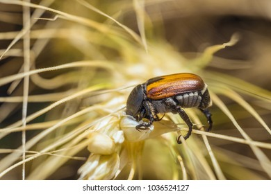 Bread Beetle eats wheat ear. Insect pest of crops Grain Beetle close-up. Selective focus with limited depth of field.