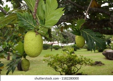 bread tree fruit in french polynesia
